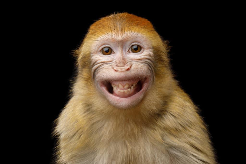petit singe devant un fond noir qui sourit de toutes ses dents